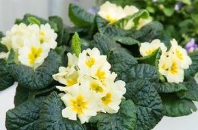 Blumenbüro: Aussicht auf einen farbenfrohen Frühling mit Gartenblühern / Der erste Balkongast der Saison: Die Primel