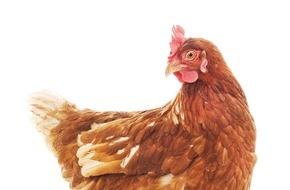 Zürcher Tierschutz: «Legehennen»: Nach Ostern sind die Spitzensportlerinnen out