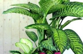 Blumenbüro: Hippie-Chic mit der sommerlich-exotischen Dieffenbachia / Dieffenbachia ist Zimmerpflanze des Monats Juli