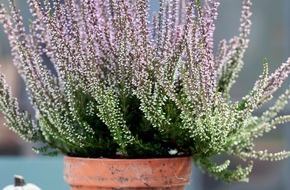 Blumenbüro: Schöne Zierde und nützlicher Strauch / Die Besenheide - Immergrün im Herbstgarten