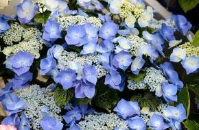 Blumenbüro: Die blaublütige Hortensie ist ein Schmuckstück für draußen / Königlich entspannen: Hortensien für den Wohlfühlgarten