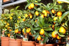 Belles plantes siciliennes sur les balcons de Suisse