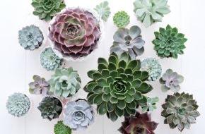 Blumenbüro: Moderne Wohnraum-Inszenierung mit vielfältigen Echeverien / Echeveria ist Zimmerpflanze des Monats August