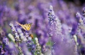 """PRIMAVERA LIFE: Mit Lavendel entspannt den Sommer genießen / Das duftende Kraut ist so wirksam wie Medikamente - """"Sommer-Rezepte"""" für entspannten Schlaf und gepflegte Haut"""