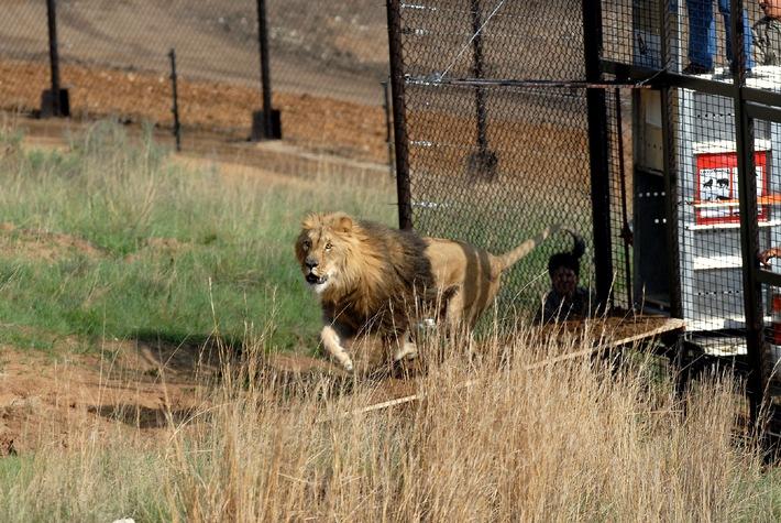 Perfekter Start für VIER PFOTEN Projekt in Südafrika: Gänserndorf-Löwen sicher und glücklich in LIONSROCK angekommen