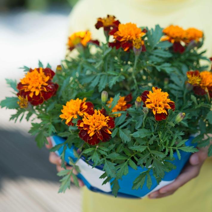 Exotische Gartenblüher laden zum Sommerfest ein / Fiesta im Außenbereich mit Mandevilla und Tagetes