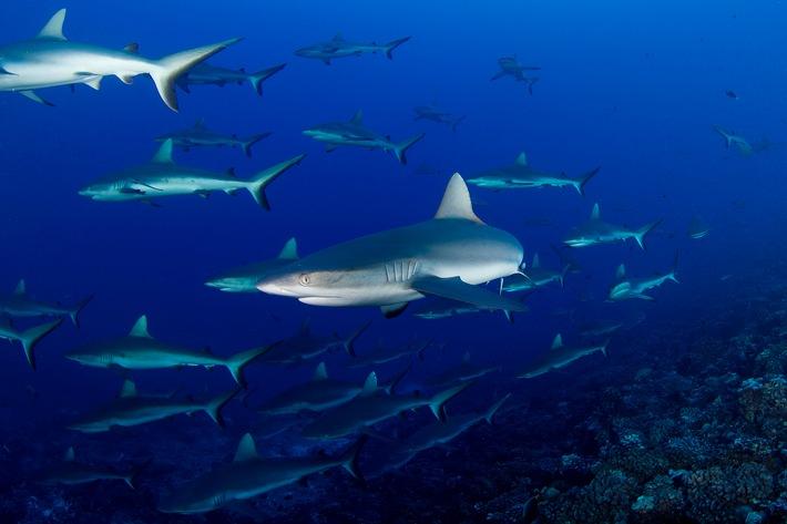 """""""Hai Life"""" unter Wasser - Im August taucht Nat Geo Wild in die Welt der Haie ein"""