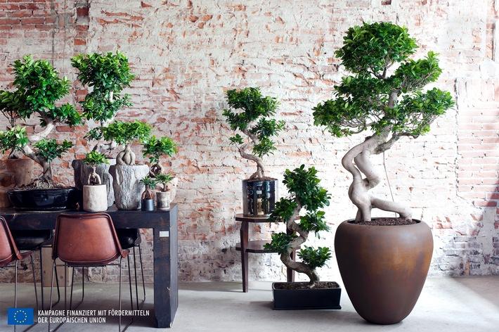 ficus ginseng ist zimmerpflanze des monats juli. Black Bedroom Furniture Sets. Home Design Ideas