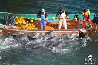 Dramatisches Delfinmorden in Japan - US-Botschaft interveniert
