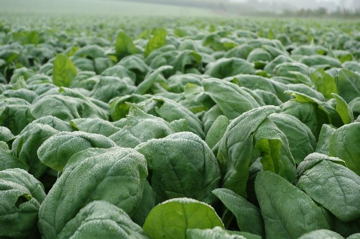 So kommt der Spinat vom Feld in die Packung: In fünf Film-Episoden zeigt iglo den Weg des beliebten Gemüses - von der Ernte bis zur Verarbeitung