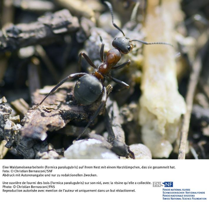 FNS: Image du mois juin 2007: La résine, antibactérien préféré des fourmis