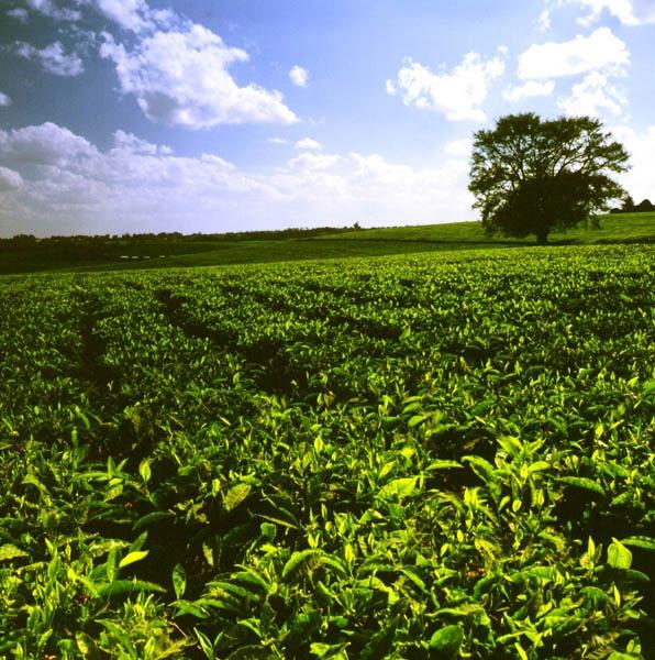 Kenias Exportschlager ist Schwarzer Tee