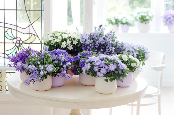 Glockenblume ist Zimmerpflanze des Monats März / La dolce vita: Frühlingsgefühle mit der italienischen Campanula