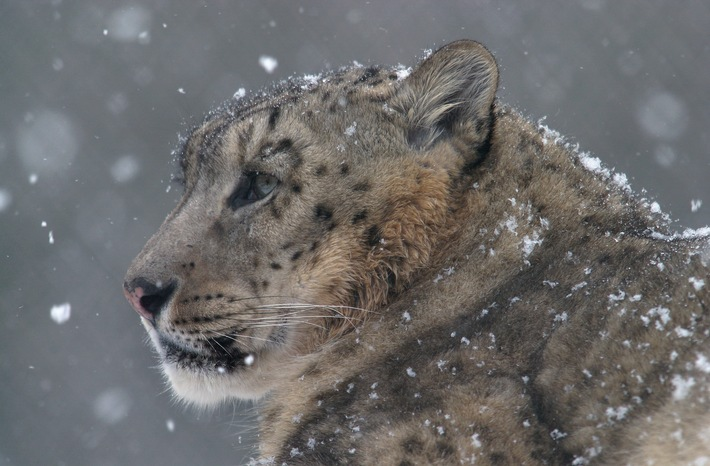 Internationaler Tag des Artenschutzes (3.3.): NABU seit 17 Jahren im Schneeleopardenschutz aktiv - Schutzarbeit auf Bhutan und Tadschikistan ausgeweitet