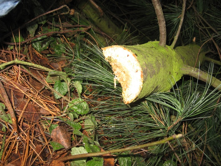 POL-SE: Appen: Baumfrevel an einer Kiefer