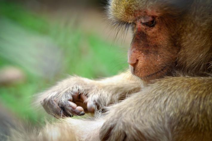 Gericht billigt «Versklavung» von Affen für Hirnforschung