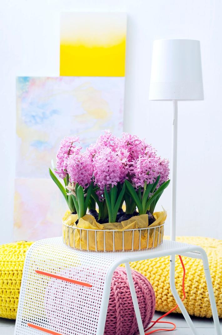 Hyazinthe ist Zimmerpflanze des Monats Dezember / Duftende Hyazinthen für trübe Wintertage