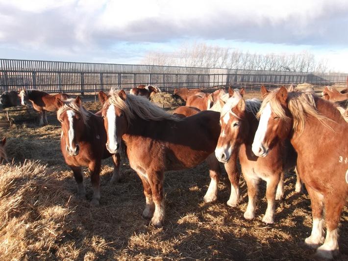 Migros arrête les importations de viande de cheval provenant de l'élevage Bouvry/Canada