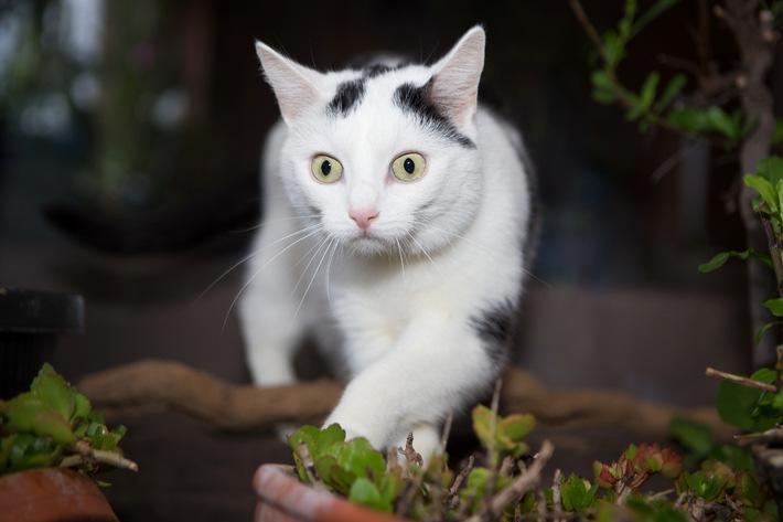 Von hyperaktiv bis zu lethargisch / Wenn die Schilddrüse der Katze zu viele Hormone ausschüttet