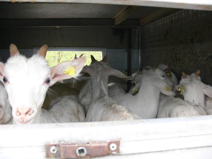 POL-MFR: (706) Metzgermeister transportiert 125 Zwergziegen                                  auf 11 qm