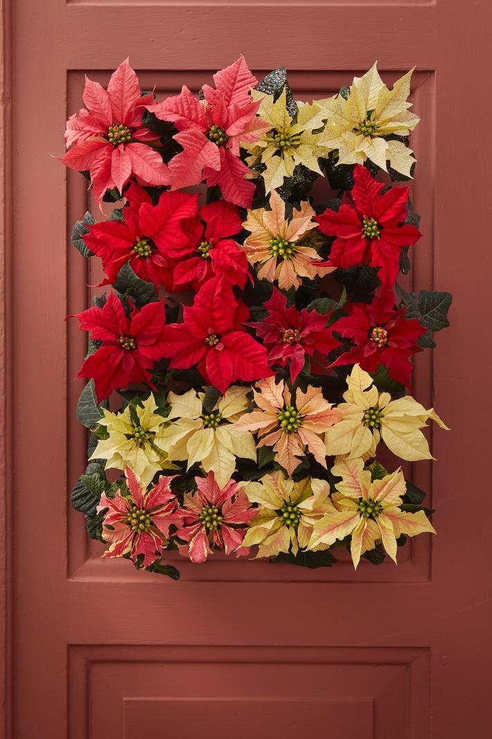 Weihnachtssterne pflegen - Wohlfühlgarantie für eine abwechslungsreiche Schönheit