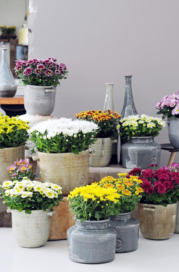 Chrysantheme ist Zimmerpflanze des Monats Oktober / Strahlender Herbst mit der farbenprächtigen Chrysantheme
