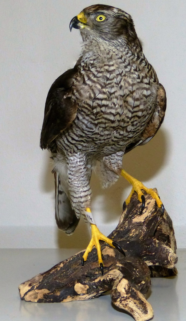 ZOLL-M: Zollfahnder stellen 26 Präparate artengeschützter Greifvögel sicher.