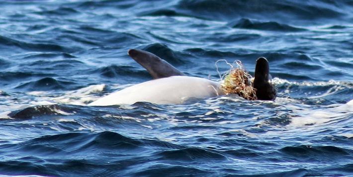 Behinderter Adria-Delfin erneut nahe Zadar gesichtet