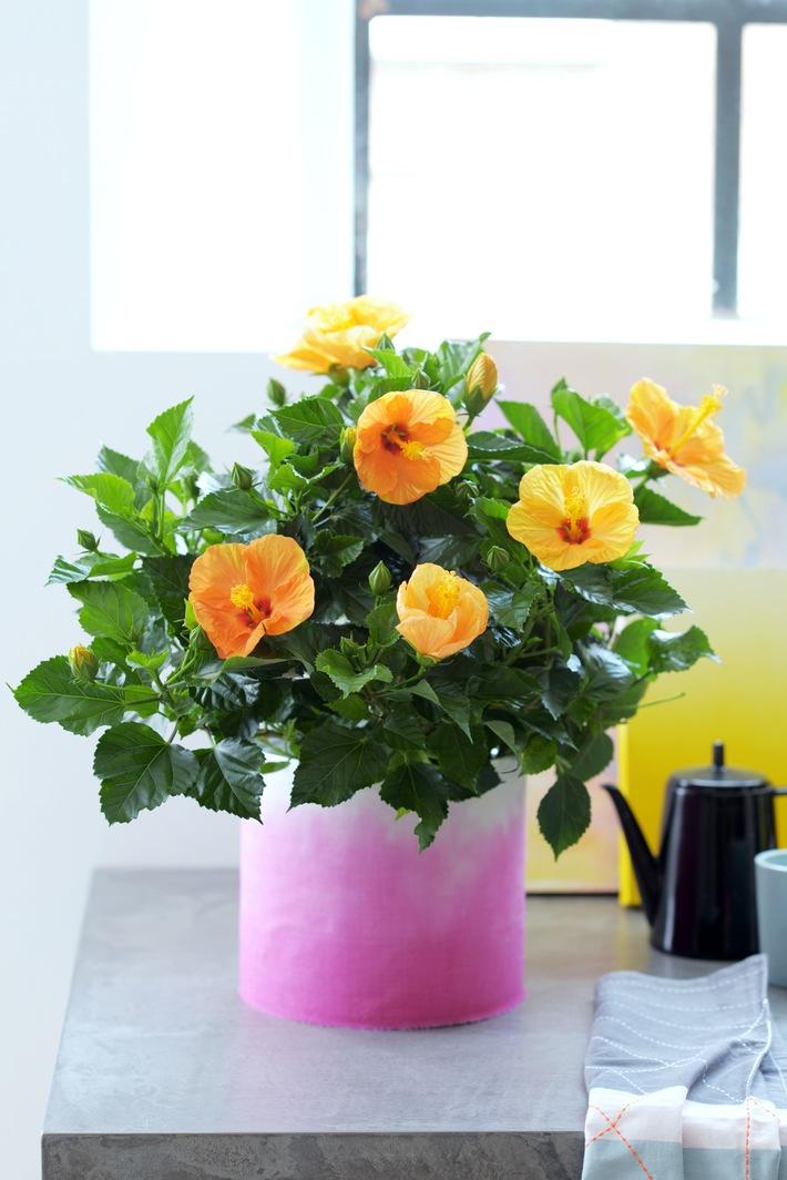 hibiskus ist zimmerpflanze des monats mai exotik f r zuhause mit dem hibiskus. Black Bedroom Furniture Sets. Home Design Ideas