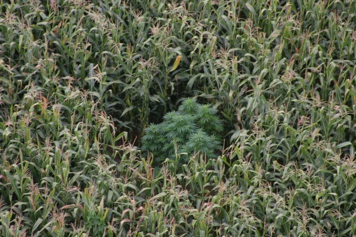 POL-DA: Groß-Zimmern: Marihuana-Pflanzen im Maisfeld/Bei Routineflug von Polizeihubschrauberbesatzung entdeckt