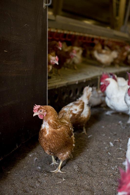 Migros setzt auf Schweizer Fleisch und bessere Haltungsbedingungen von Tieren im Ausland
