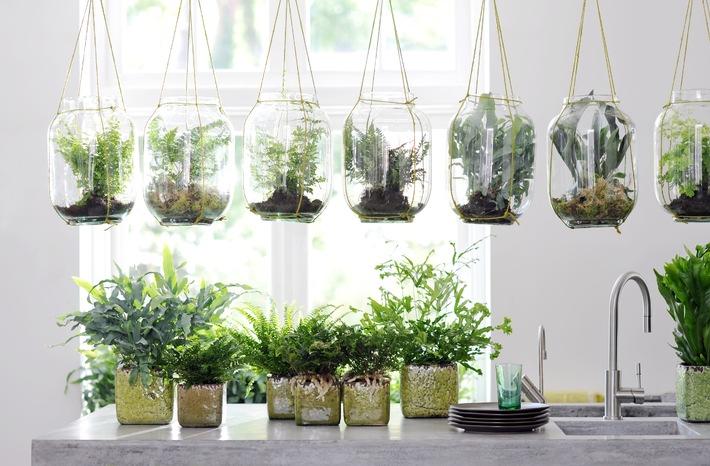 Zimmerfarn ist zimmerpflanze des monats april wildwuchs f r das wohnzimmer der sympathische - Epiphyten zimmerpflanze ...