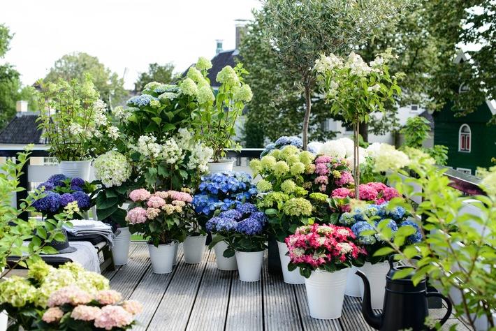 Die Gartenhortensie in all ihrer Vielfalt / Auf Balkon, im Beet oder als Bodendecker
