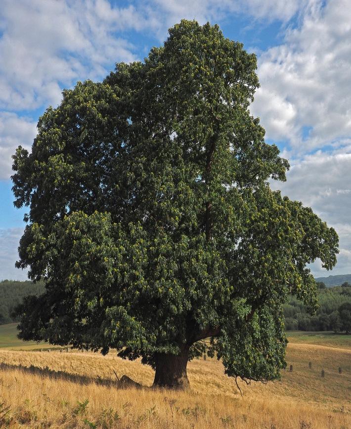 Die Ess-Kastanie ist Baum des Jahres 2018