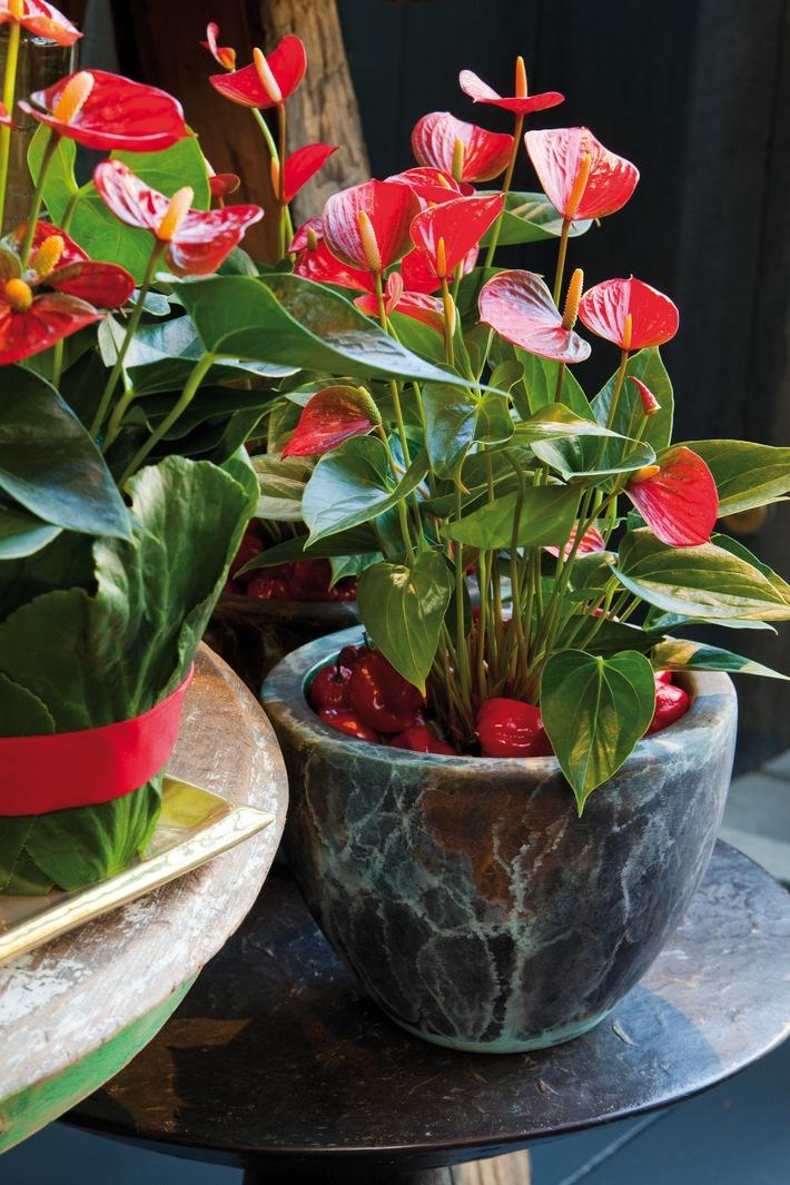 Feurige Exotik: Die Anthurie ist der Liebling des Monats Dezember (mit Bild)