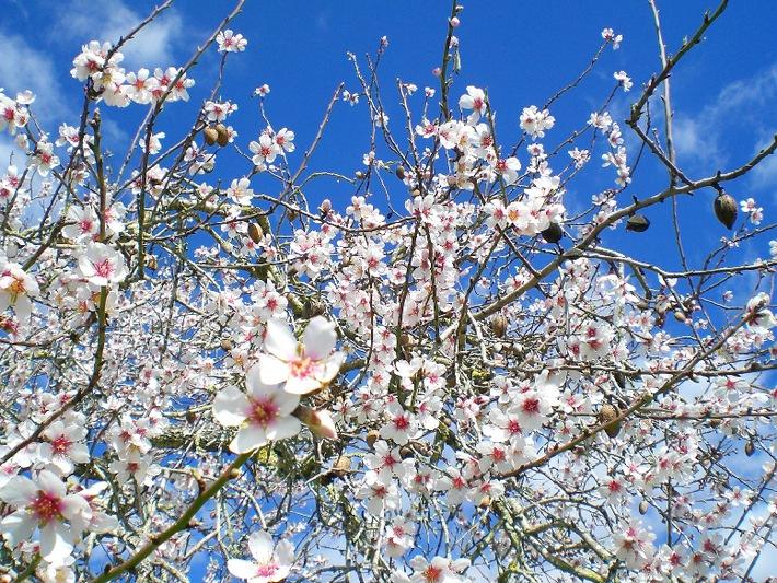 Mandelblüte lässt bei alltours auch die Nachfrage auf Mallorcaurlaub kräftig sprießen / Buchungsplus im Winter für Reisen auf die Balearen