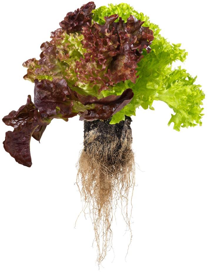 «Living Salad» - dieser Salat bleibt besonders lang frisch / Neuheit: Coop verkauft Salat mitsamt Wurzelballen