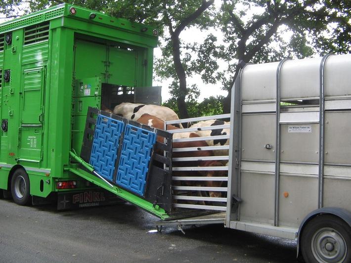 Lüneburg - Polizei & Veterinäramt kontrollieren Tiertransporte - Rinder umgeladen - mehrere Verstöße