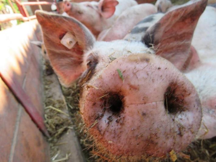 Kriegen Schweine Sonnenbrand?