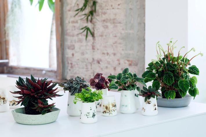 Zwergpfeffer ist Zimmerpflanze des Monats April / Abwechslungsreiche Wohlfühlpflanze in handlichem Format