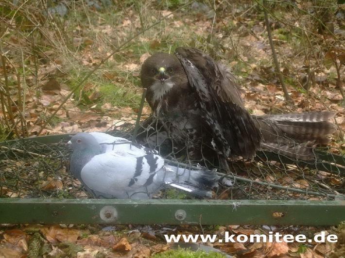 Falkner aus Soest fängt und tötet geschützten Greifvogel - Polizei leitet Strafverfahren ein (mit Bild)