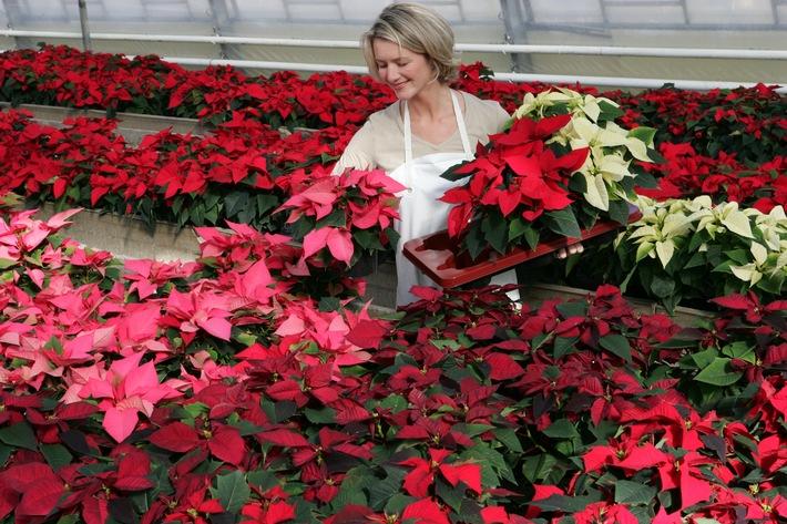Der Weihnachtsstern ist die beliebteste blühende Zimmerpflanze der Deutschen (mit Bild)