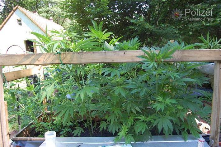 POL-PPWP: Cannabisplantage in Garten entdeckt