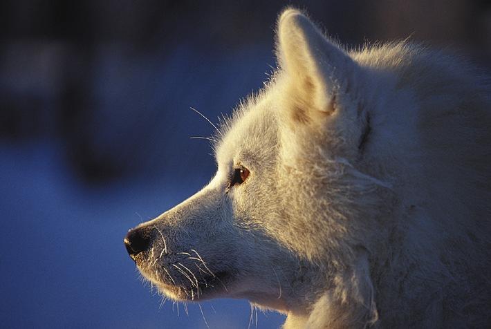 Wintersport mit Huskies