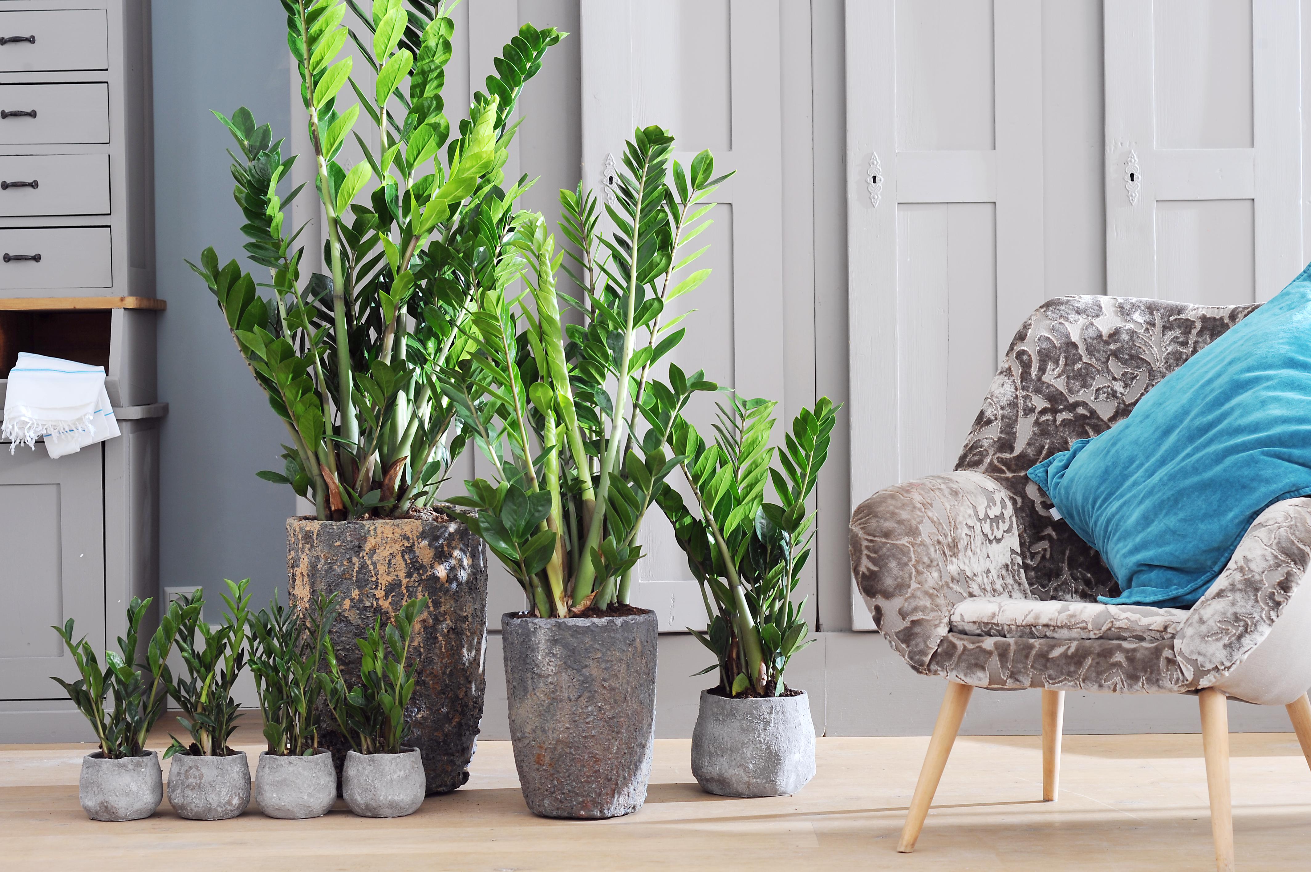 Atemberaubende Dekoration Moderne Wohnzimmer Pflanzen Konzept Zamioculcas ist Zimmerpflanze des Monats September Z wie
