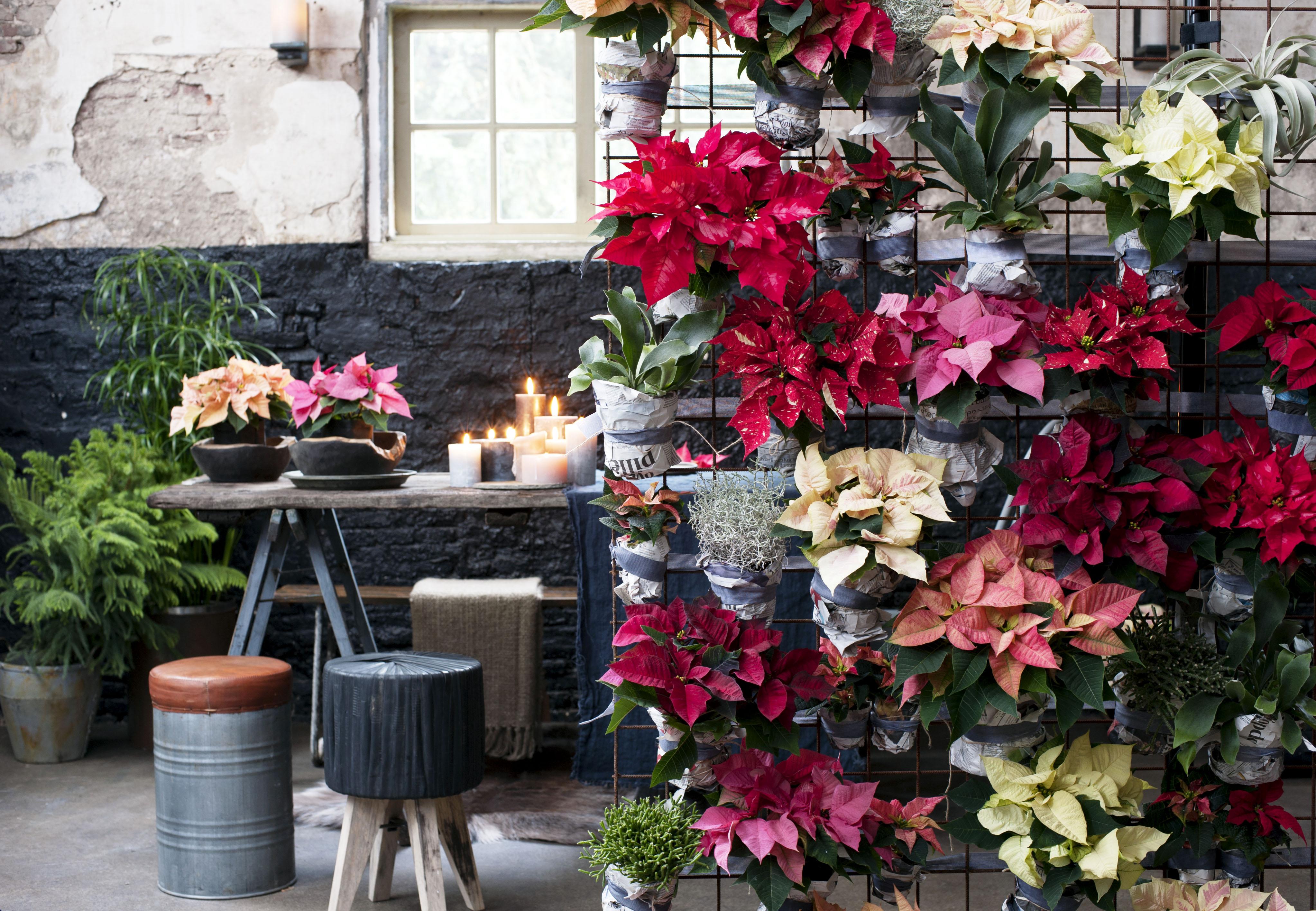 Poinsettie ist zimmerpflanze des monats november treuer - Zimmerpflanze rankend ...