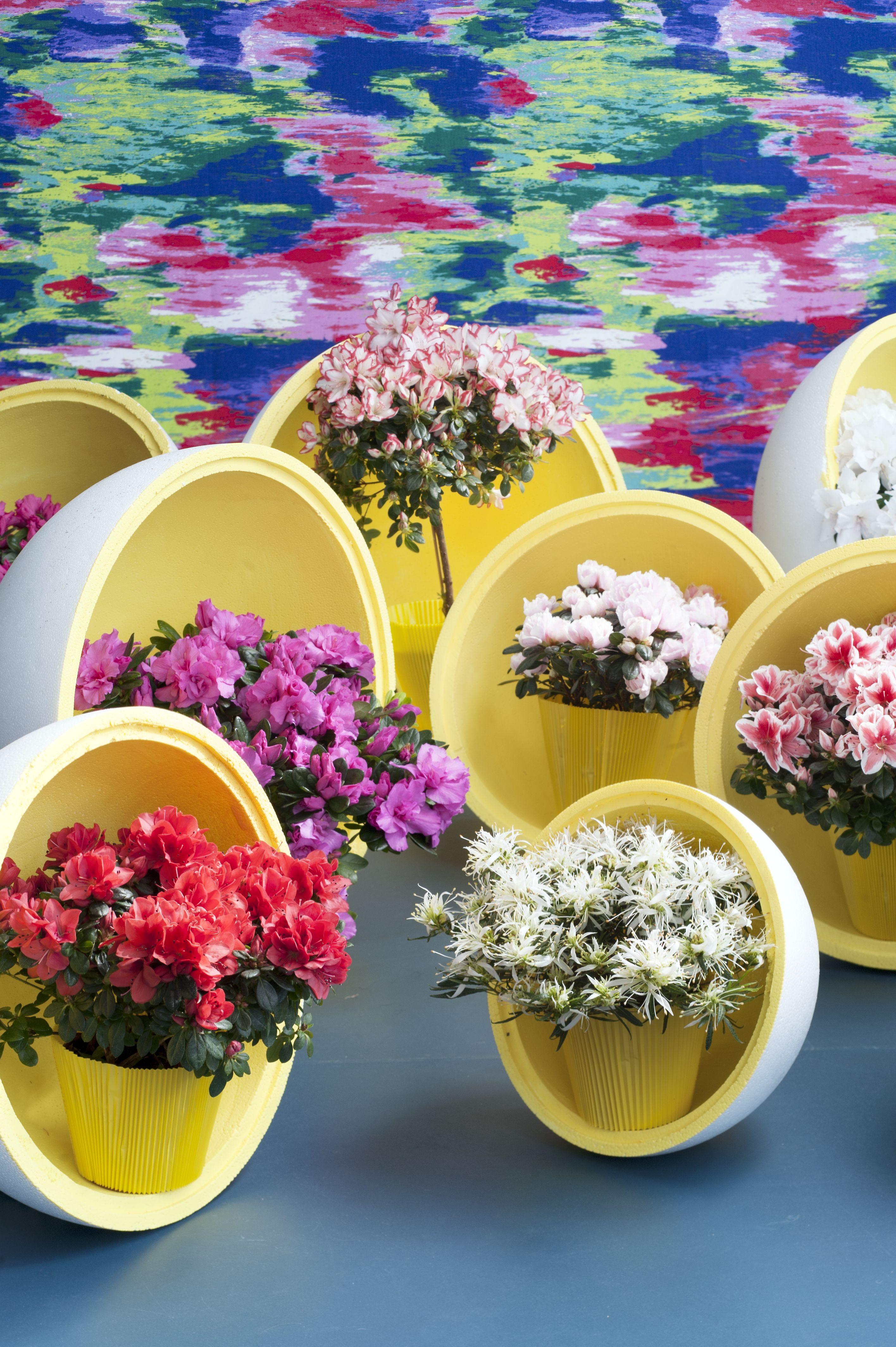 Azalee ist Zimmerpflanze des Monats Dezember / Mehr Blüte als Grün ...