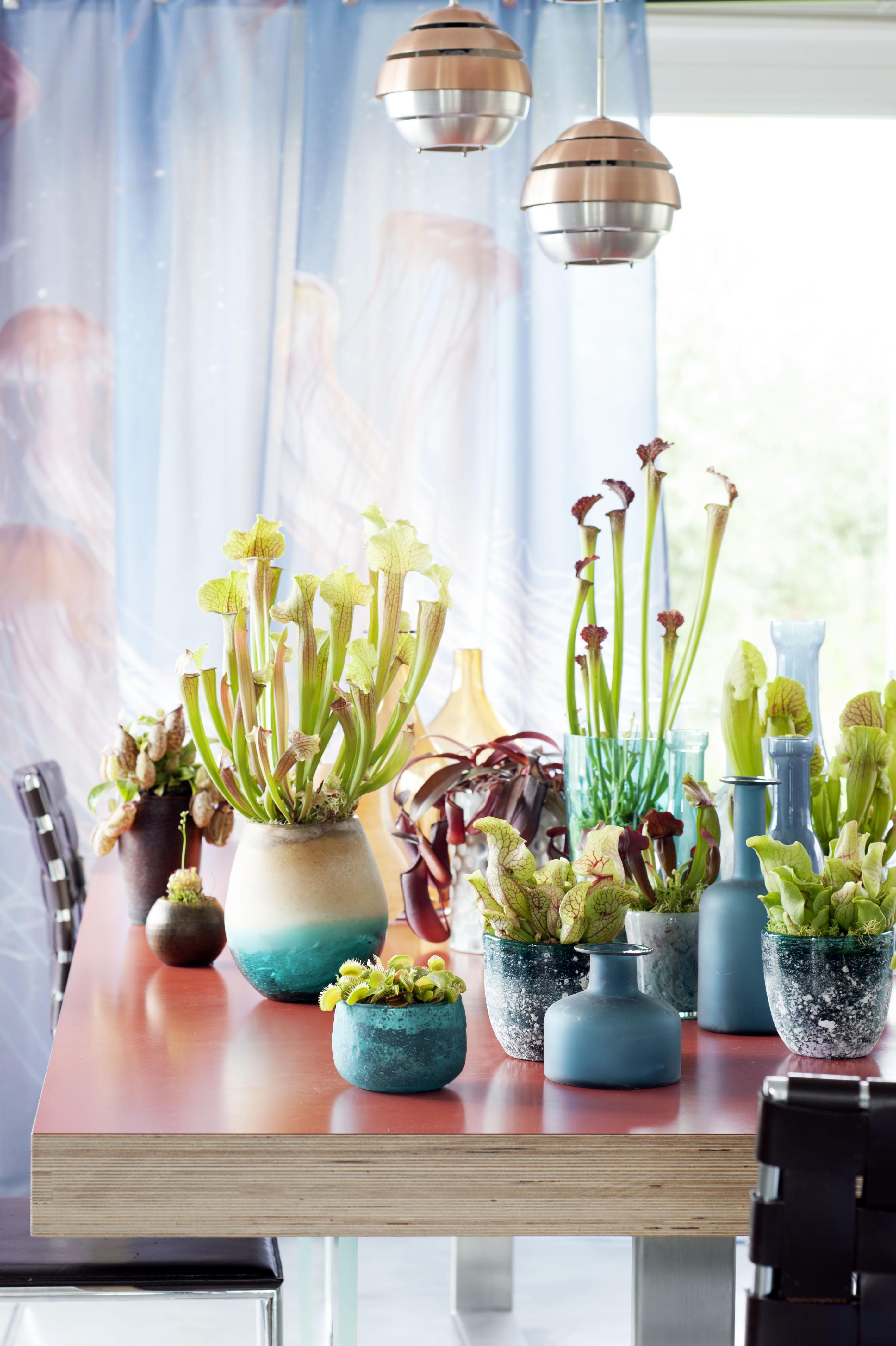 fleischfressende pflanzen sind zimmerpflanzen des monats september der j ger im presseportal. Black Bedroom Furniture Sets. Home Design Ideas