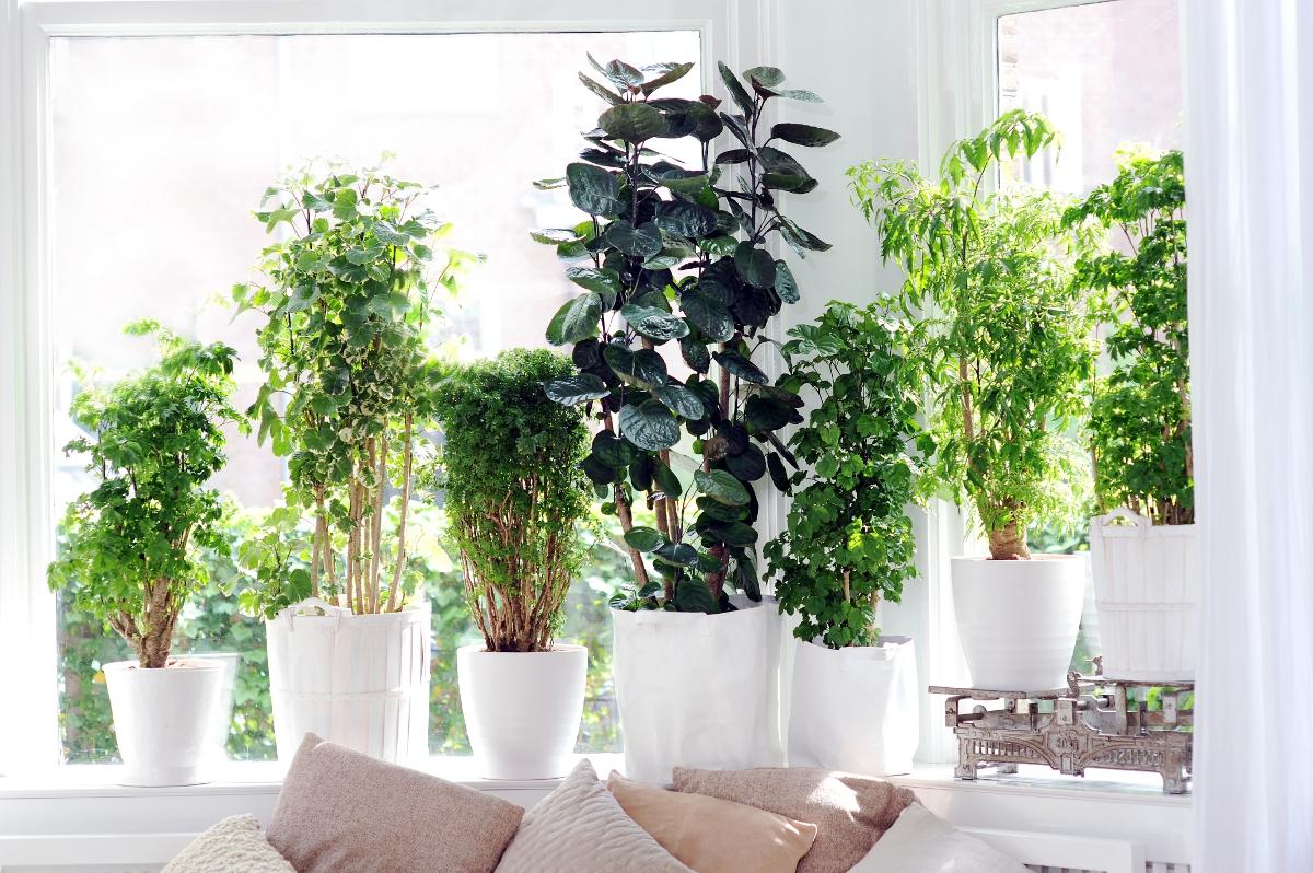 sch ne schattenpflanze fiederaralie adelt dunkle ecken. Black Bedroom Furniture Sets. Home Design Ideas