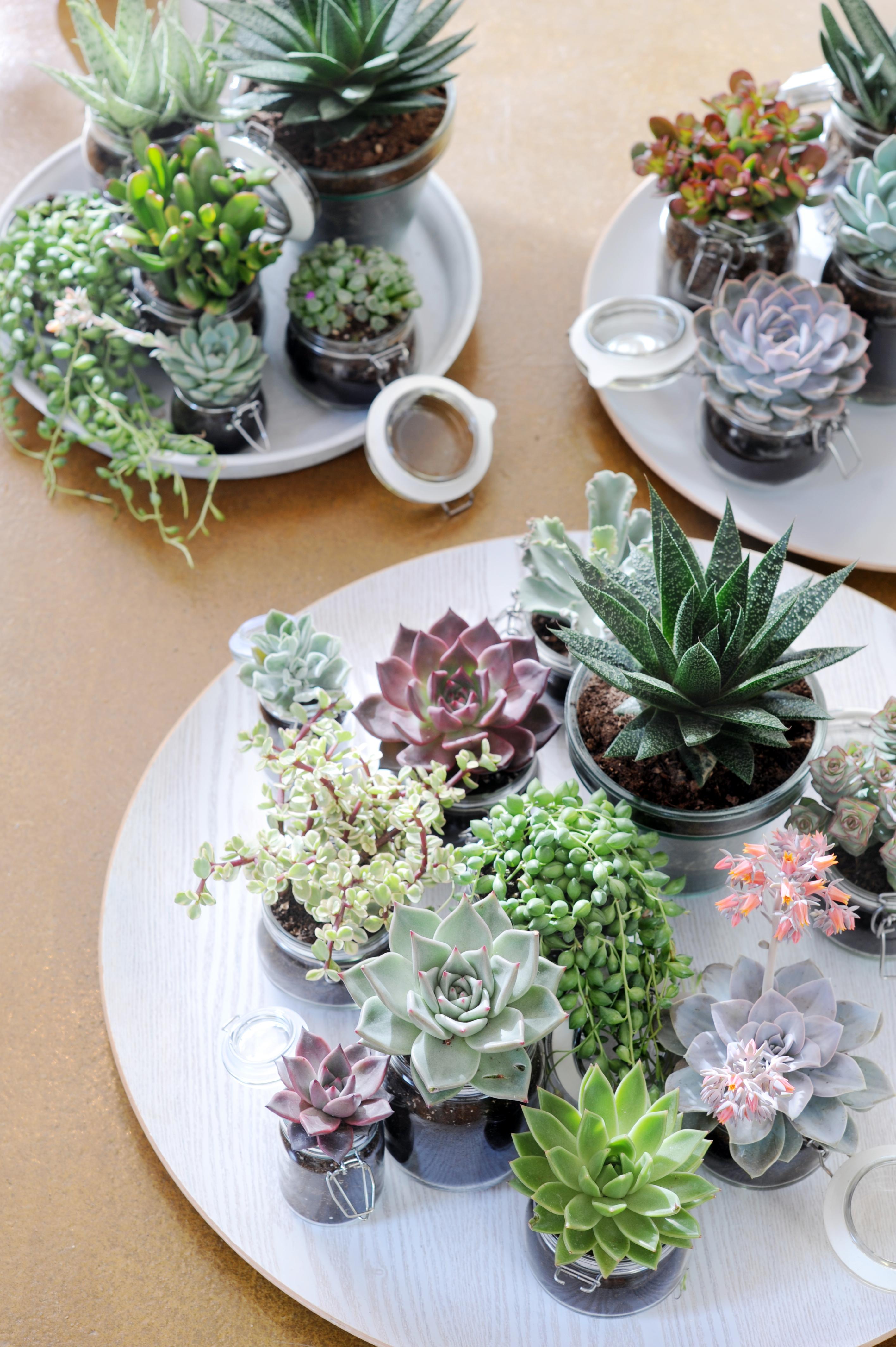 Sukkulenten Zimmerpflanzen sukkulente ist zimmerpflanze des monats juni interieur design tipp